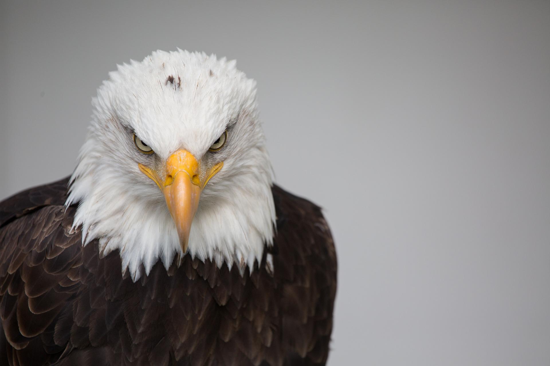 eagle-714430_1920